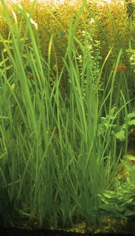 List of low tech aquarium plants