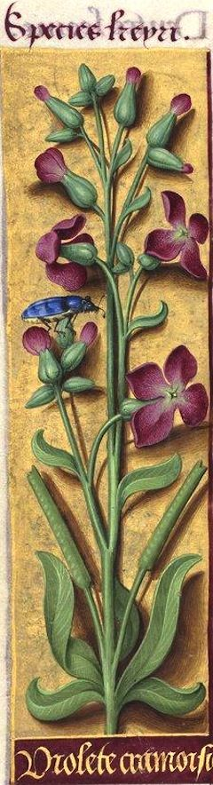 Violete cramoisie - Species keyri (Matthiola incana R. Br. = giroflée des jardins) -- Grandes Heures d'Anne de Bretagne, BNF, Ms Latin 9474, 1503-1508, f°97v