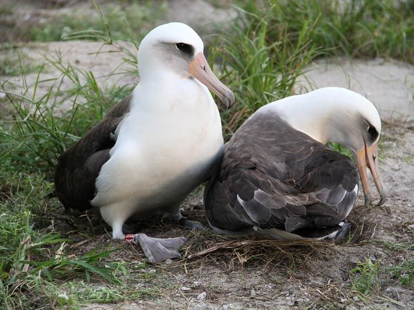 Oldest Known Wild Bird Hatches Chick at 62  Wisdom the albatross was first banded in 1956 on Midway Atoll.