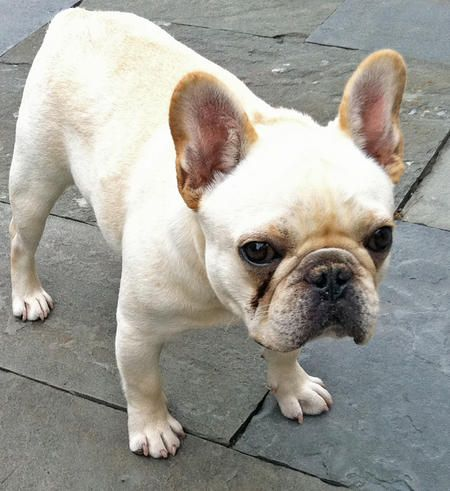 25 best ideas about white french bulldog puppies on pinterest white french. Black Bedroom Furniture Sets. Home Design Ideas