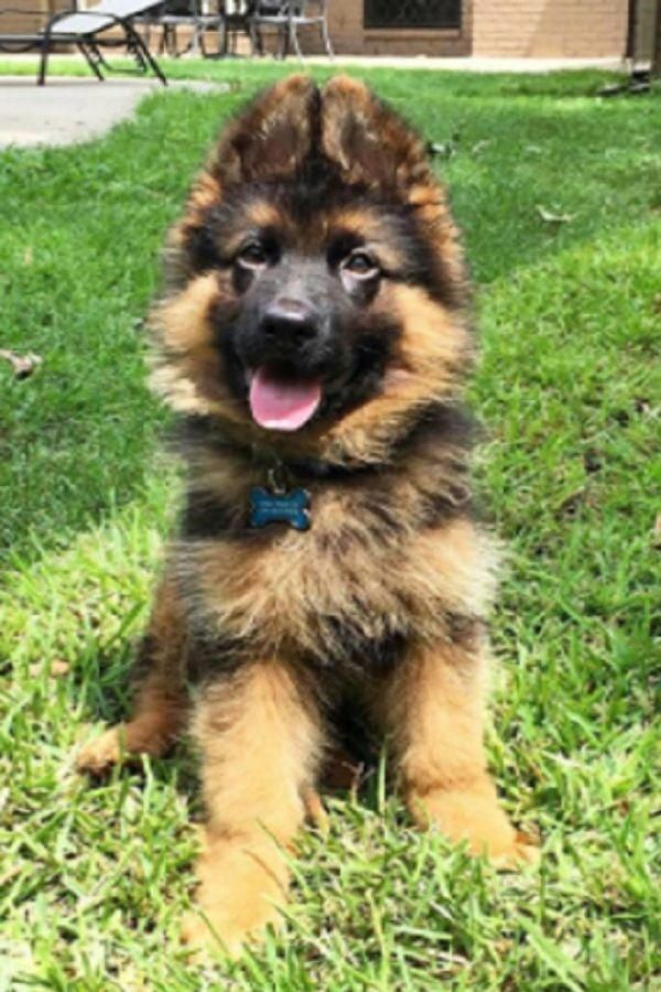 Dogs And Puppies For Sale In Gumtree Cute German Shepherd Puppies German Shepherd Puppies Shepherd Puppies
