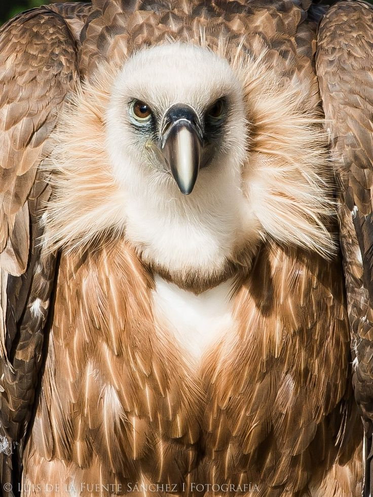 Griffon vultures, Gyps fulvus (Falconiformes - Accipitridae), are large, carnivorous scavengers, with an extremely large range,...