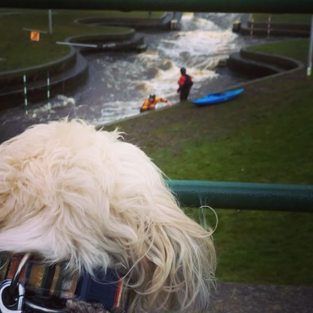 """33 Likes, 5 Comments - Alfie; A Rescued Dog Who Blogs (@alfie_the_angry_shih_tzu) on Instagram: """"Watching the brave #canoe people at #teesbarrage today! #freezingoutside #shihtzusofinstagram…"""""""