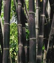 Schwarzer Bambus 'Black Bamboo'