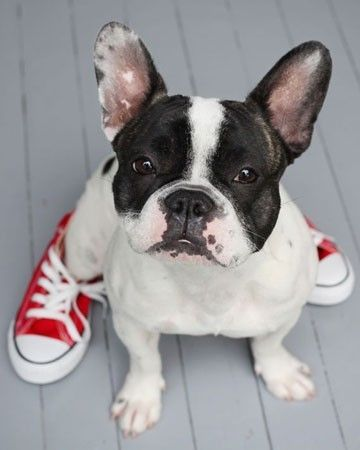 red sneakers: French Bulldogs, Red Shoes, Red Chuck, Puppie, Pet Photo, Baby Dogs, Boston Terriers, New Shoes, Fashion Pet