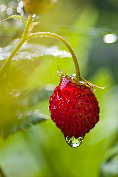 Eine kleine Mini-Erdbeere nach einem kräftigen Regenschauer auf unserem Balkon.