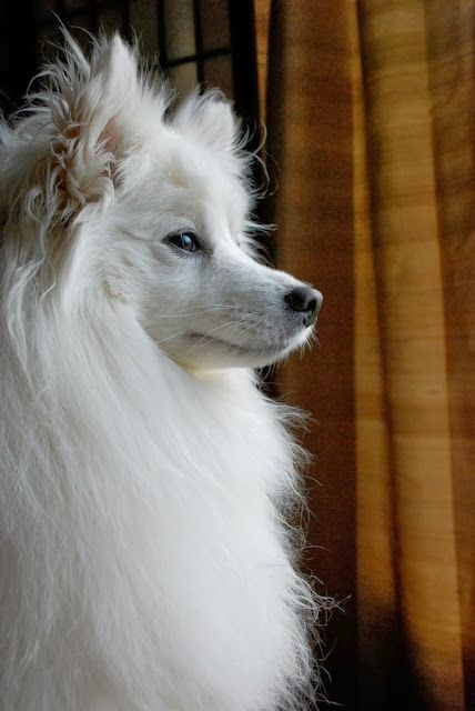 AMERICAN ESKIMO DOG is one of the Top 5 Most Affectionate Dog Breeds. Click the pic for full list