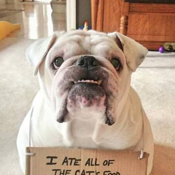 english bulldog memes funny bulldog memes google search bulldogs pinterest 7752