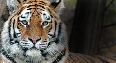 Zaadoptuj symbolicznie tygrysa lub inny gatunek w potrzebie. Podaruj wyjątkowy prezent przyrodzie lub bliskiej Ci osobie. Na Twoją pomoc czekają wilki, niedźwiedzie, rysie, foki, morświny i tygrysy. Dasz im nadzieję?