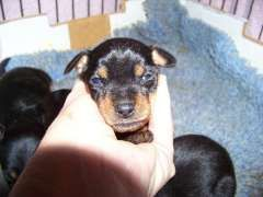 Miniature Pinschers - Available   2 x Black/Tan females & 1 x Red male available after 8/7/16    All our pups/dogs are Vet checked , vaccinated up-to-date, wormed regularly, micro chipped, on monthly flea/heartworm treatment and come with Info Sheets before they leave for their new homes. Puppies are ready to go to their new homes at 8-9 weeks of age. Delivery Inter-state, Overseas and to - https://www.pups4sale.com.au/dog-breed/463/Miniature-Pinscher.html