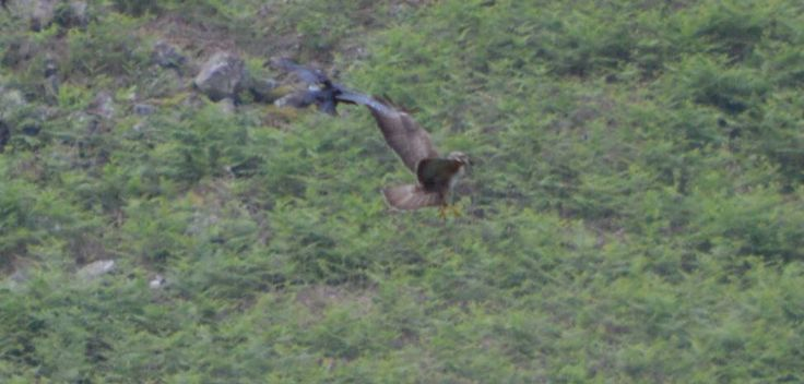 Buzzard about to upturn on the crow and grab it - I missed the big shot