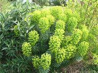 1000 id es sur le th me euphorbe sur pinterest plantes for Jardiland kaki
