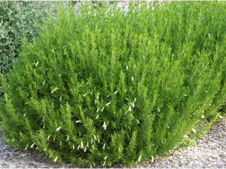 "Correa glabra 'Ivory Lantern' – Rock Correa  Paul says,""Dense medium shrub, easy to train as a screen or hedge, trim as required to establish then 1-2 times per year."""