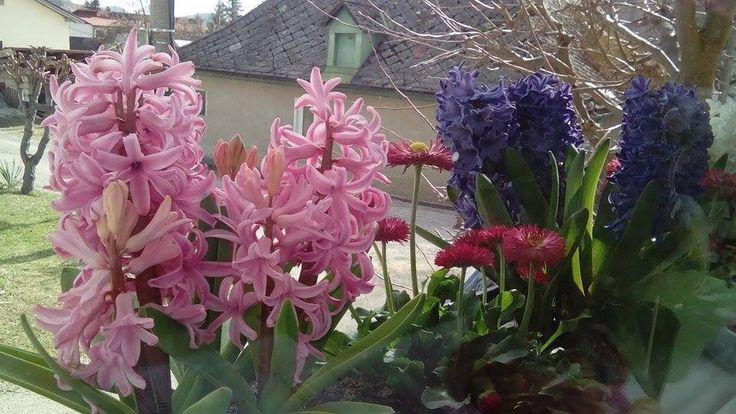 hyacinty za oknem