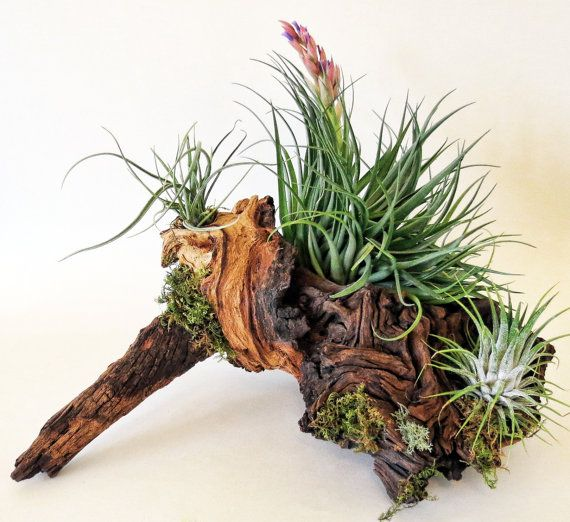 New Product. Very large hand picked driftwood with 3 amazing Tillandsia airplants. Perfect for a clean bathroom, dining table centerpiece or brick mantel. The design options are limitless. available at www.etsy.com/shop/steampunkandzen #zen #driftwood #cottage chic #airplants