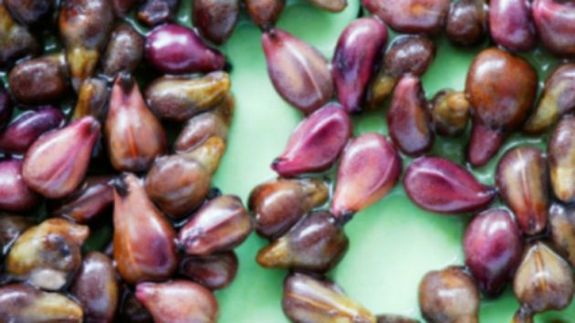 grape seed makes chemotherapy completely useless, because the extract operates more powerfully than chemotherapy, and unlike it, it doesn't destroy the whole body including the healthy cells.