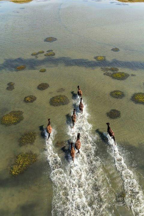 Horses runnin in water