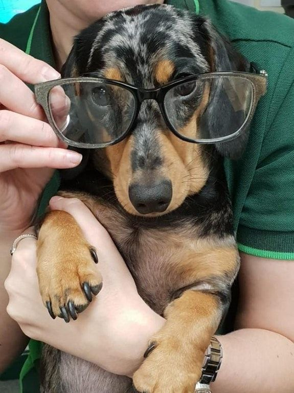 Do They Make Me Look Smart Dachshund Weiner Dog Dachshund Breed Dogs