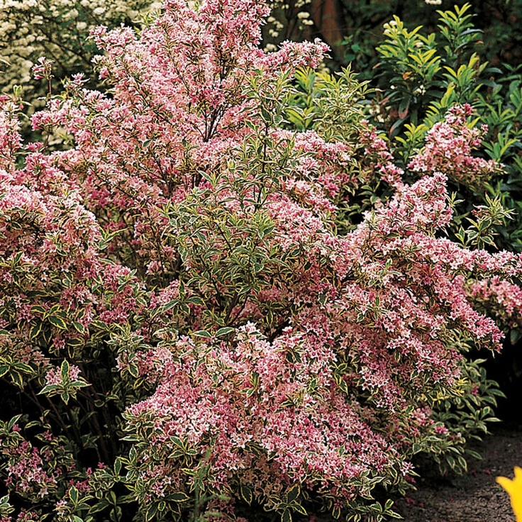 17 Best images about Shrubs in Florida on Pinterest | Blue ...