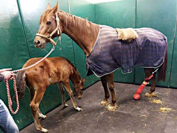 Şampiyon at negatif basınç tedavisiyle hayata döndü.. Detaylar ajanimo.com'da.. #ajanbrian #ajanimo #at #horse #animal #hayvan