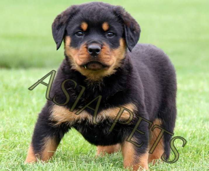 Asiapets Is Online Pet Shop In India Online Pet Shop In Delhi Dog Accessories Store Dog Store For Toys Pet Accessories Of Dog Pet Shop Cat Kennel Dog Store
