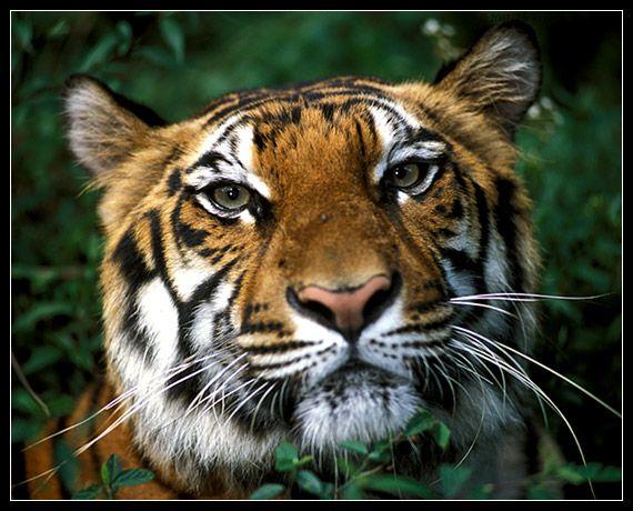 Bengal tiger - Cisarua, Jawa Barat