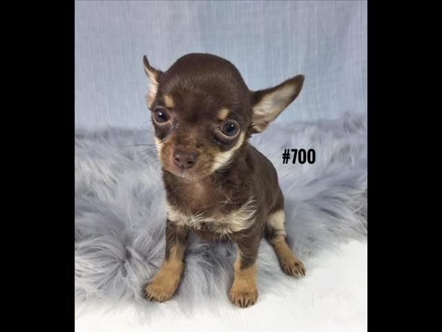 Toy Chihuahua Puppy Boy At Puppy Palace 07 3855 5511 For Sale