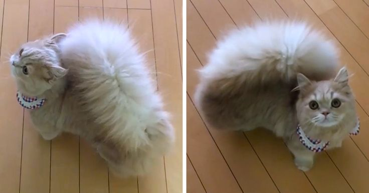 Meet Bell, a cat with a majestic squirrel-like tail. Bell belongs to a recent breed, called Minuet (also known as the Napoleon), and one of its main features is a really fluffy rear end. Other notable characteristics include short legs and a round face, making Minuets so adorable that you just have to say awww when looking at them.