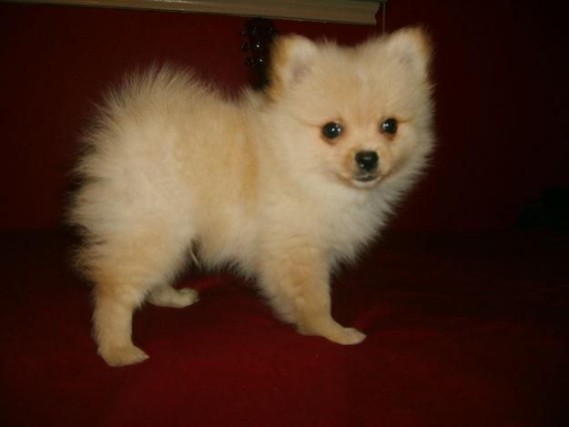 cheap teacup pomeranian pomeranian for sale for 700 near houston texas 3863