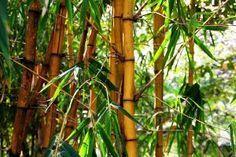 Très utilisée dans le Fengshui, c'est la plante porte-bonheur par excellence. Il symbolise la prospérité, la chance et repousse les ondes négatives. Différentes propriétés selon le nombre de tiges: 2 pr l'amour, 3 pr le bonheur, 5 pr la santé, 8 pr la richesse et 9 pr la chance. L'avantage du bambou c'est qu'il demande peu d'entretien. Une pièce avec un faible éclairage et à l'abri du soleil est parfait. #MuseFengShui #Fengshuidanslamaison #Bonnevibes #energiepositive #Musefreepositiveenergy