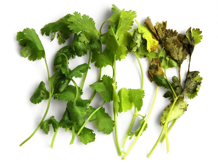 All of those stems of cilantro are the exact same age. 51 days in my refrigerator, to be exact. The only difference is in how they were stored. So what's the best way to store herbs? I tested out every method I could think of, isolating every variable—light, air, moisture, and temperature—and pushing my herbs to the limit to figure it out.