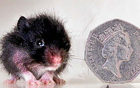 World's Smallest Hamster: 2.5 cm (0.9-inch) tall  Only slightly bigger than a 50p piece, PeeWee is the smallest hamster in the world. Weighing less than an ounce, the golden hamster stopped growing when he was three weeks old - his five brothers and sisters went on to measure between 4in and 5in