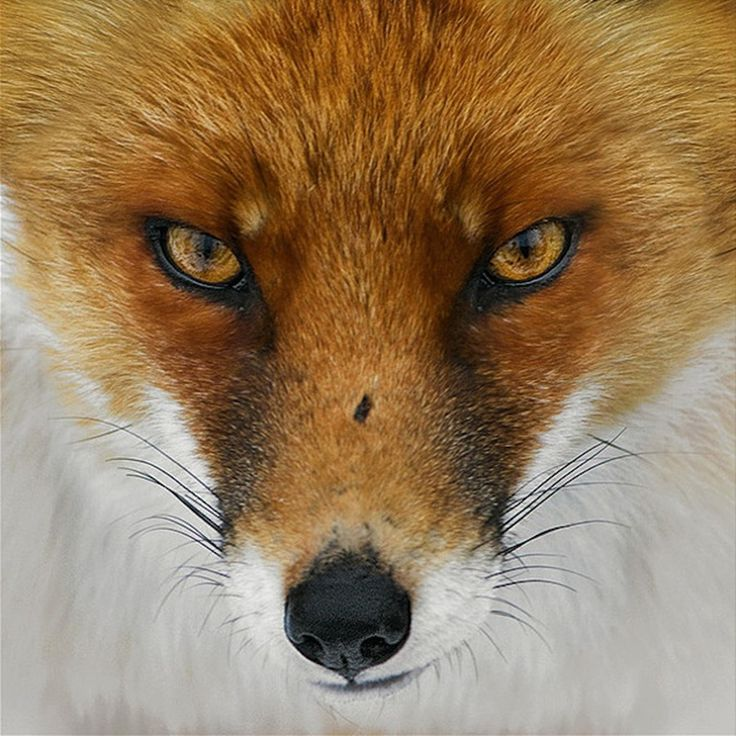 red fox face and - photo #23