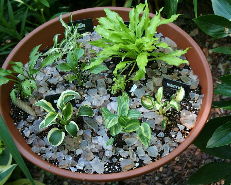 growing hostas in pots is a great way to use these easy