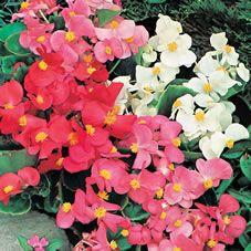 Wilko Seeds Begonia Summer Bedding