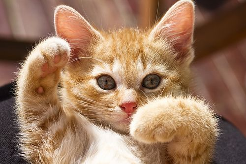 : Cats, Kitty Cat, Meow Meow, Cat Meow, Adorable Furry, Chat, Kittens, Desktop Wallpapers, Adorable Animal