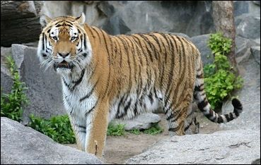 Tigers facts - Information about Tiger Numbers and Range        tiger facts for kids       Estimated tiger populations (1997 when there wer...
