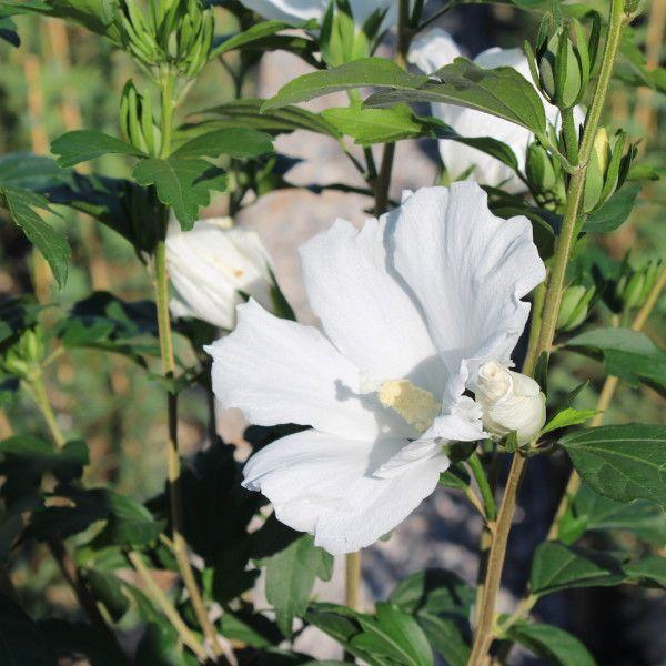 Hibiscus syriacus bianco