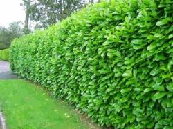 This is the hedge we're planting along the back fence :)  texas privet hedge - back yard fence, privacy