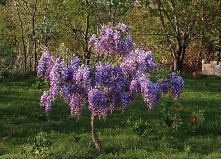 Standard wisteria tree