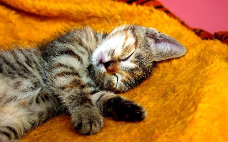 cinzento gatinho posição de confiança