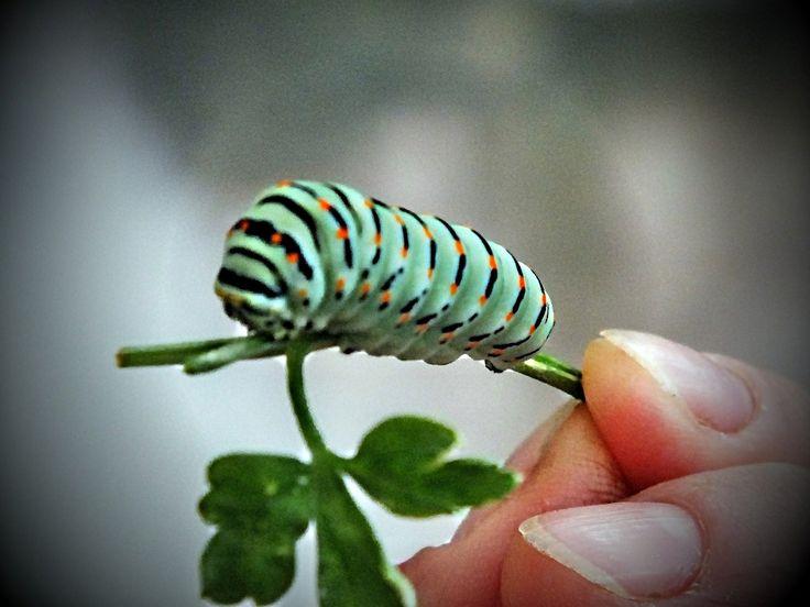 """Papilio machaon"" caterpillar (© Luigi Gallo)"