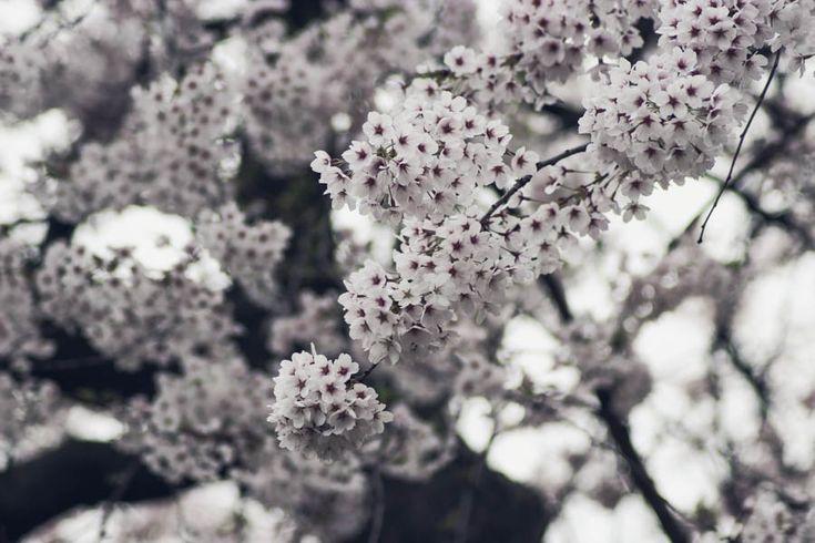 cherry-blossoms-toronto-where-6