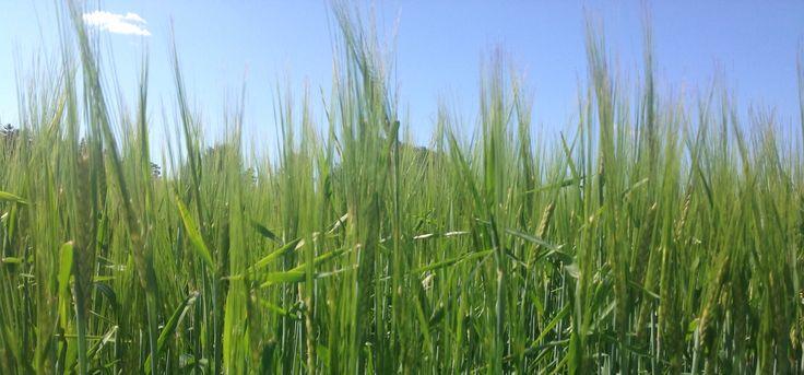 Ohrapeltoa, niin kaunis vihreä. Barley-field, so beautiful green.