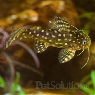 Synodontis Angelicus Catfish Fresh Water Fish Origin
