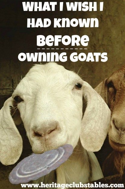 6 things I wish I had known before owning goats. Don't you agree with #5?? But does it stop us from owning them?? Nope! Once a goat lover, always one.