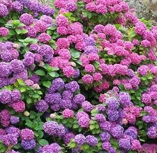 Hydrangeas are a bush-type flower with the nack for blooms that change