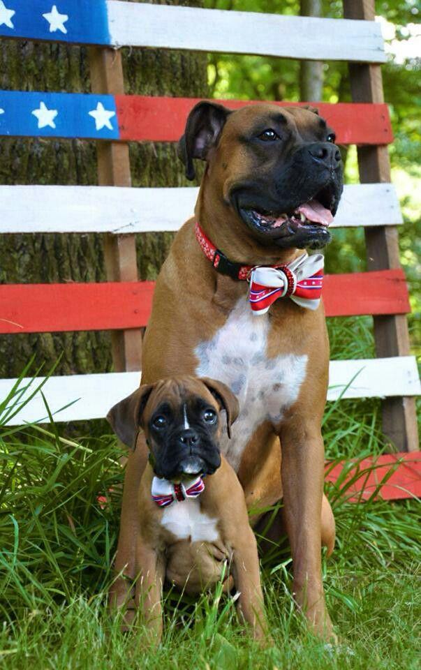 Simple Brindle Boxer Bow Adorable Dog - 860b40538dd0c60369ad1102039a533e--animals  Image_451397  .jpg