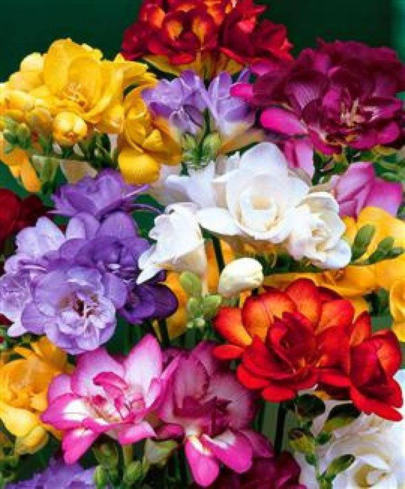 5 Freesia Bulbs Double Flowering Mix Mixed Bright Color Collection Bulbs Very Frgrant For Potting Kedvenc Viragok Viragcsokrok Es Gyonyoru Viragok