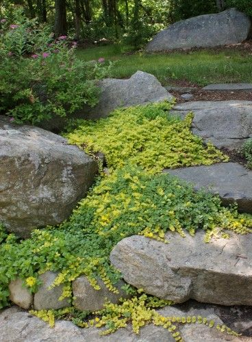 Colorful, low-maintenance golden creeping Jenny (Lysimachia nummularia 'Aurea'). will grow in sunny spots as well as in the shade. Its small ruffled leaves will turn a bright yellow when planted in full sun. Shade-dwelling specimens will become a lime green. Profuse, bright yellow flowers appear in early summer.  ~ Thinking it might be a good ground cover option.